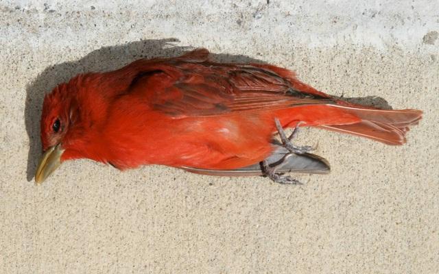 deadredbird