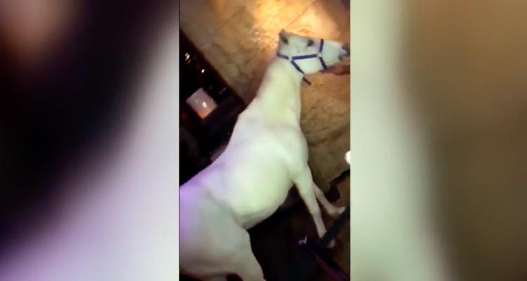Footage of the same white horse filmed inside nearby Mokai Lounge in Miami Beach last week.