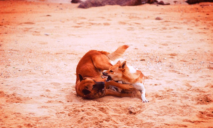 doginfighting