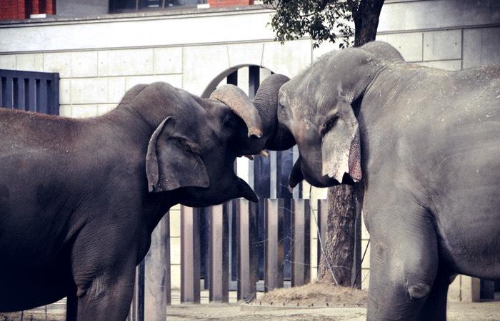 elephants_tied