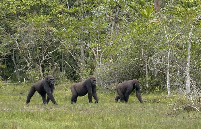 three_gorillas