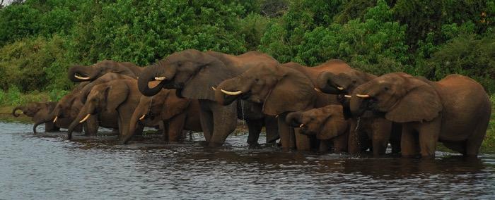 elephants_drinking