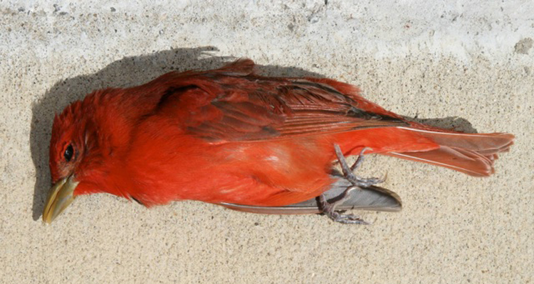 deadredbird750