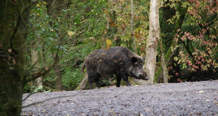 Shakira wild boar attack
